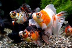 Calico telescopic eye goldfish