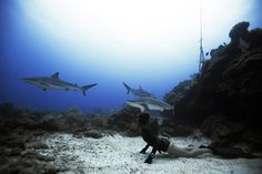 One ocean One breath 'The beauty of freediving is that you don't have the cumbersome and noisy equipment of scuba, which can deter marine life from coming closer. Creatures such as sharks are far more curious about freedivers, who appear more fish-like underwater.'