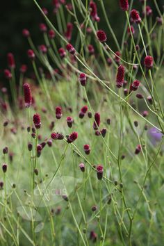 Buy burnet Sanguisorba officinalis 'Red Thunder': Delivery by Crocus Red Flowers, Colorful Flowers, Flower Colour, Colour Red, Red Perennials, September Flowers, Clay Soil, Backyard Landscaping, Thunder