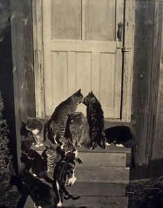Edward Weston - Cats at Door, … via Transverse Alchemy, from the delightful gallery and short bio Masters of Monochrome: Part III- Edward Weston. Edward Weston, Crazy Cat Lady, Crazy Cats, Animals And Pets, Cute Animals, Amor Animal, I Love Cats, Charles Darwin, Cat Art