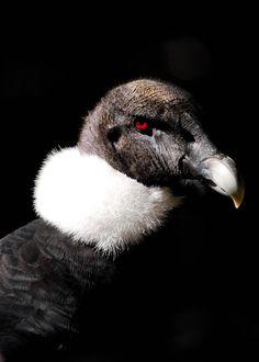 Vulture of Prey Andean Condor, Buzzard, Vulture, Big Bird, Animal Fashion, Birds Of Prey, Animals Of The World, Fauna, Raptors