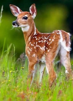 My favorite animal is a fawn (baby deer) with white spots =) Whitetail Deer Pictures, Deer Photos, Pictures Of Deer, Nature Animals, Woodland Animals, Animals And Pets, Cute Baby Animals, Funny Animals, Wild Animals List