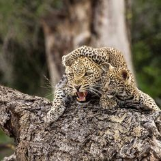 Don't come to close to this leopard mom's baby Beautiful shot from @malamalagamereserve ✥ ✥ Follo