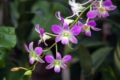 https://flic.kr/p/fohZc7 | Orchid in Singapore Botannical Gardens | Orchid in Singapore Botannical Gardens