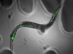 LMG – Laboratorie for Mikrobiell Genteknologi