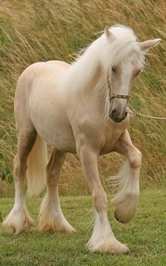 Prancer - Palomino Gypsy Vanner Horse - this is how I want to enter heaven.....on the back of an amazing beautiful creature.....a horse.                                                                                                                                                      More