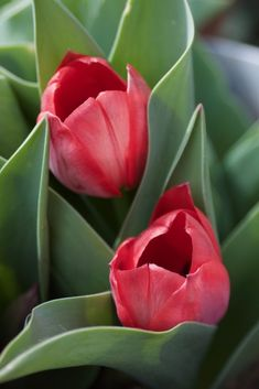Tulpen im Topf - Landkindleben