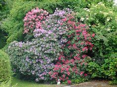 Rhododendron  40 Jahre alt