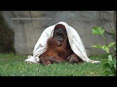 Orangutan Kisses- Baby Rowan Kisses His Mommy