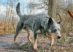 Australian Cattle Dog/Blue Heeler