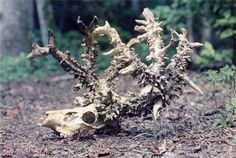 Lionel Crissman of Ohio discovered the skeleton of a deer whose plume sported almost 1000 points.