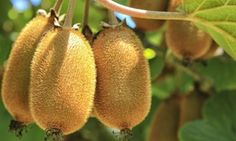Groupon - Set van 3 of 6 winterharde kiwiplanten vanaf € 24,99. Groupon deal price: 24,99€