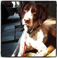 Bella is an #adoptable German Shorthaired Pointer Dog in #Bellingham, #WASHINGTON -  Bella is a German Short Hair Pointer and was born in April 2007. She is small and petite for her breed. She has gone on many ...