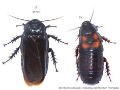 Panesthia angustipennis angustipennis Roaches, Bugs, Creatures, Animals, Collection, Insects, Animales, Animaux, Beetles