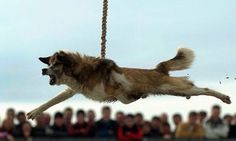 Stop 2015 Dog Spinning Festival in Bradilovo, Bulgaria! – New Petition! Stop Animal Cruelty, Dog Fighting, Horror, Puppy Mills, Animal Welfare, Animal Rights, My Heart Is Breaking, Animal Rescue, Spinning
