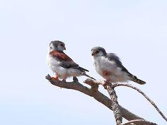 Pygmy Falcons by Antero Topp