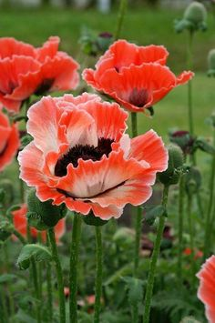 AMAPOLAS #Flora&Fauna-Flowers&Plants