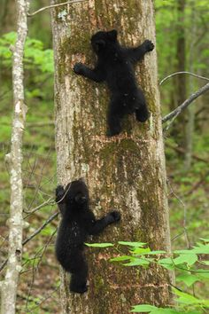 bear-cubs-smoky-mountains.....adorable to watch (from a distance, lol)