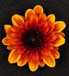 Lexy - Spray (Pompoms) - Chrysanthemum - Flowers by category | Sierra Flower Finder