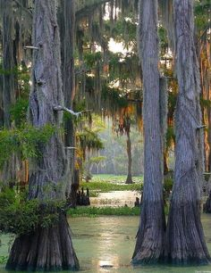 The largest cypress forest in the world at Caddo Lake, Texas/Louisiana,