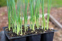 How to plant leeks.