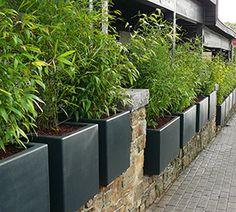 Bambous en pots et bacs : intérêts et espèces adaptées