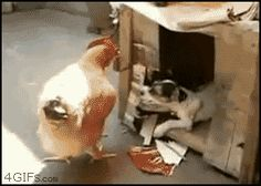 The perfect Chicken Puppy Dog Animated GIF for your conversation. Discover and Share the best GIFs on Tenor. Funny Videos, Funny Animal Videos, Funny Animals, Cute Animals, Puppies Gif, Cute Puppies, Dogs And Puppies, Dog Photos, Funny Photos
