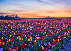 Sunrise Tulips, Woodburn, Oregon. 35 lovely minutes away from University! #hollaatthatOregonbeauty.