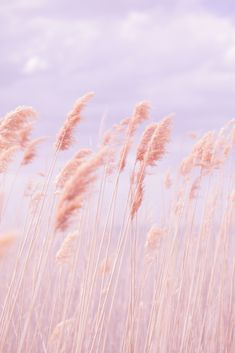 Rose Quartz and Serenity, Pantone Color for 2016 Rose Gold Hair, Poppy Photography, Nature Photography Tips, Pink Poppies, Pink Flowers, Pink Color, Pastel Colors, Beach Grass, Pink Beach