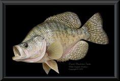 White Crappie Fish Mounts & Replicas