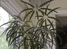 False aralia is grown for its attractive foliage coppery colored at first, but as they mature they turn dark green, appearing almost black on some plants. Find out more about false aralia in this article.
