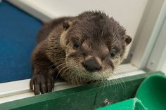 The Oregon Zoo's rescued otter pup has a new name! - August 17, 2015 - More at today's Daily Otter post: http://dailyotter.org/2015/08/17/the-oregon-zoos-rescued-otter-pup-has-a-new-name/