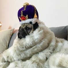 Doug the Pug, King of the couch