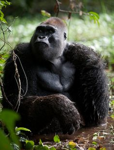 A number of Africa's most famous, beloved and beautiful species are in rapid decline. It is often shouted from the rooftops those animals that are listed as endangered or only have limited numbers left, and rightly so. However there are…Read more › Primates, Mammals, Nature Animals, Baby Animals, Cute Animals, Beautiful Creatures, Animals Beautiful, Mountain Gorilla, Majestic Animals