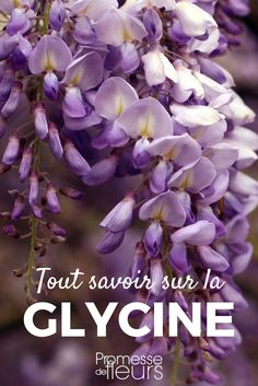 Happy New Year Quotes :Glycine : comment la planter, la tailler et l'entretenir Balcony Garden, Garden Planters, Organic Gardening, Gardening Tips, Small Trees For Garden, Teaching Plants, Interior Design Minimalist, Garden Online, Diy Plant Stand