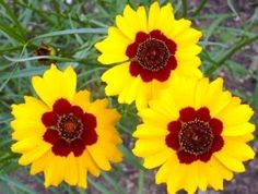 Flower Coreopsis Plains DGS112WYP (Yellow/Red) Heirloom Open Pollinated Seeds by David's Garden Seeds David's Garden Seeds http://www.amazon.com/dp/B01C1Y1YGG/ref=cm_sw_r_pi_dp_93rZwb0YQKVQE