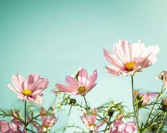 flower photography pink cosmos by mylittlepixels
