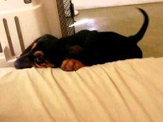 Bloodhound puppy howling - YouTube #bloodhound puppies