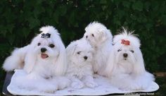 Maltese Teacup Maltese, Maltese Puppies, All Toys, Small Breed, Shih Tzu, Dog Stuff, Puppy Love, Best Dogs, Animal Pictures