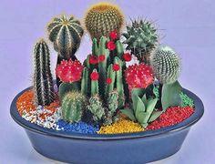 Composiciones y bandejas de cactus    Composicion con injertos y piedras de colores