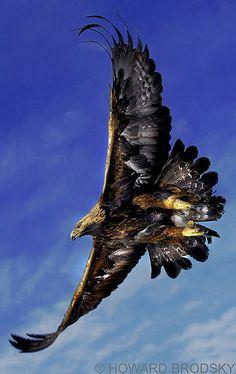 Golden Eagle // Aigle royal en majesté !