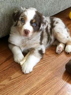 Some of the things we admire about the Smart Australian Shepherd Puppies Aussie Shepherd, Australian Shepherd Puppies, Aussie Puppies, Cute Puppies, Dogs And Puppies, Australian Shepherds, Corgi Puppies, Doggies, Beautiful Dogs