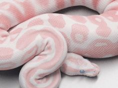Pink snake shared by Jasa Loves on We Heart It Les Reptiles, Cute Reptiles, Amphibians, Pretty Snakes, Beautiful Snakes, Animals Beautiful, Cute Little Animals, Cute Funny Animals, Snake Wallpaper