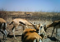 Casual gazelles.