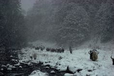Caravans of the Himalaya – Life on the Tibetan Plateau | Web Odysseum