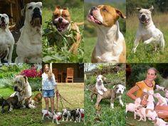 www.americanbulldog.co.za Blue American Bulldog, Marina Blue, South Africa, Pets, Animals, Animales, Animaux, Animal Memes, Animal