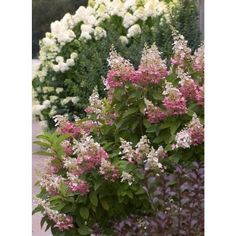 Proven Winners Pinky Winky ColorChoice Hydrangea 4.5 in. Quart-HYDPRC1047800 - The Home Depot