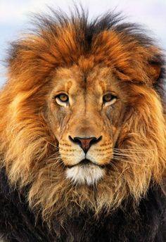 Regal Male Lion