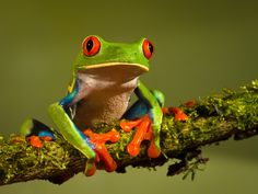 Here are great and amazing tree frog pictures. A tree frog is a small species of frogs that spends most of its life in the trees. They are mainly found in the trees and forests of the warmer regions. Green Tree Frog, Red Eyed Tree Frog, Eat The Frog, Frog And Toad, Frog Frog, Costa Rica, Whites Tree Frog, Frog Species, Amazing Frog