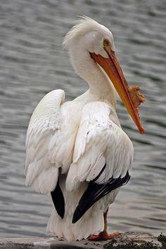 American White Pelican, Hagerman Wildlife Refuge and flying V over Camp Creek Lake jla